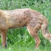 Kiebitz-Umzug klappt nicht: Rinder zu gesund und Fuchs zu schlau - Rathaus will Reineke jetzt ne Kugel Blei verpassen