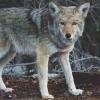 Nach dem Wolf kommt jetzt der Wolfexperte