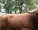 Große Norderstedter Highlandcattle-Bullenkörung und -schau im Stadtpark Norderstedt