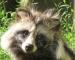 Galgenweg-Anwohner vertreibt China-Marder mit Wermutkraut