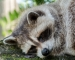 Neulich im Zoo: Waschbären sagen knallharten Winter voraus